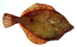 Northern rock sole