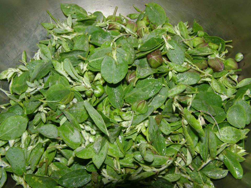 Caper Leaves