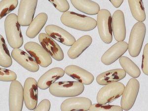 Falcon Beans