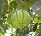 Malabar tamarind