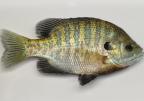Pan Fish